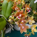 Types of orchids flowers in the Philippines