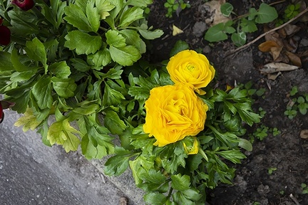 Miniature yellow roses