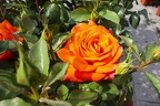 Rose orange color flower