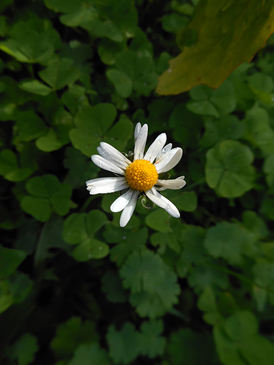 daisy_flower_photo.jpg