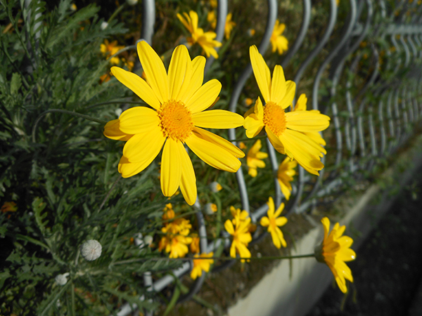 flowers_yellow_color.JPG