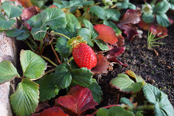 small_strawberry_plant.JPG