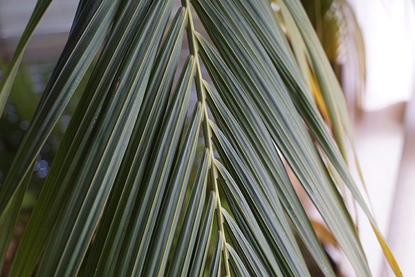 green_palm_leaves.JPG