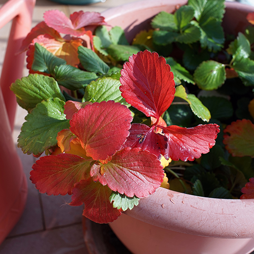 green_plant_with_red_leaves.JPG