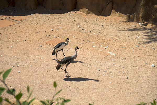 the_grey_crowned_crane.JPG