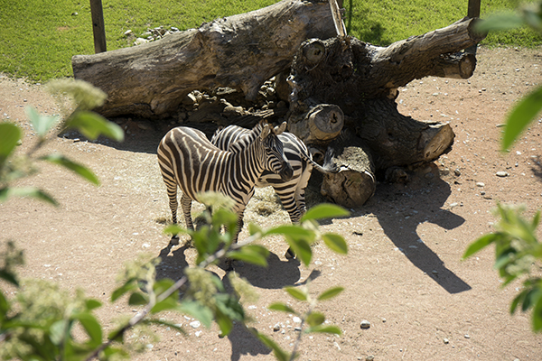zebras_live_in_zoo.JPG
