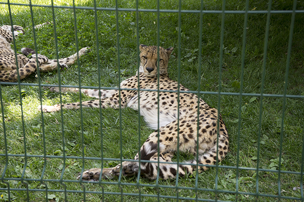 cheetah_in_zoo.jpg