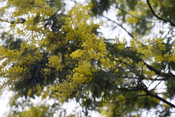 mimosa_plant_yellow_flowers.jpg