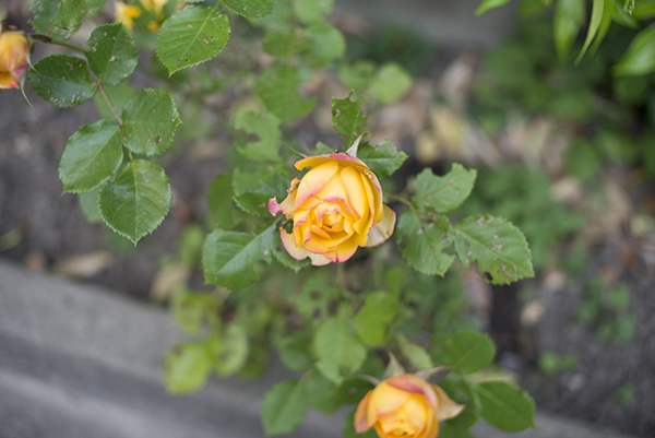 beautiful_yellow_rose_flowers.JPG