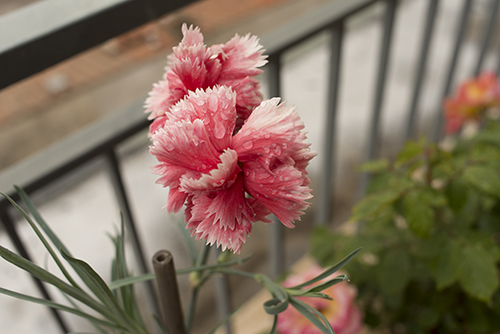 pale_pink_carnations_with_drops.JPG