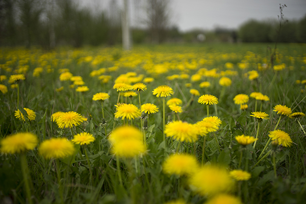 dandelion_meadow.jpg