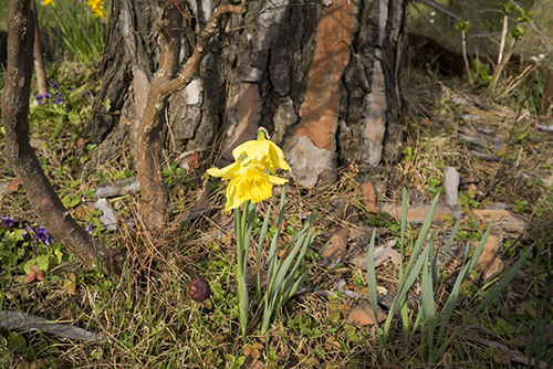 yellow_narcissus_flower.jpg