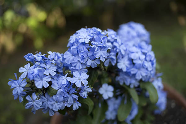 h1> Most beautiful blue flowers</h1>