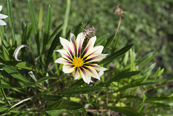 white_and_purple_gazania_flower.jpg