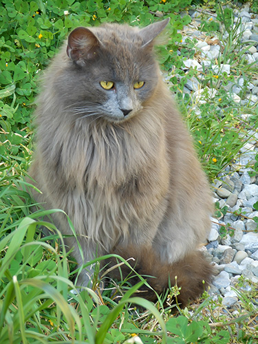 fluffy_gray_cat_breed.jpg