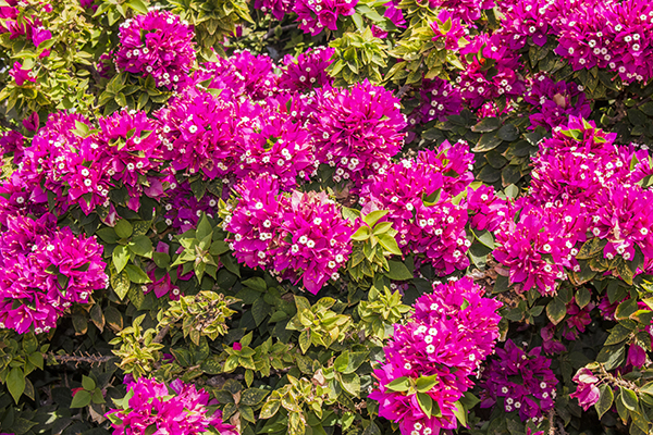 H1 Bush With Pink Flowers In Summer Big Pink Flowers H1