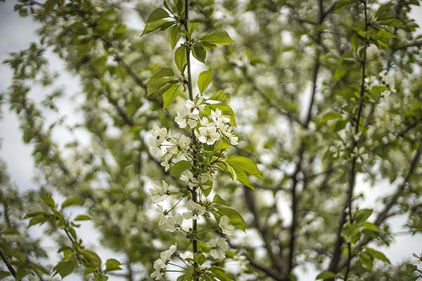 large_tree_with_fragrant_white_flowers.jpg