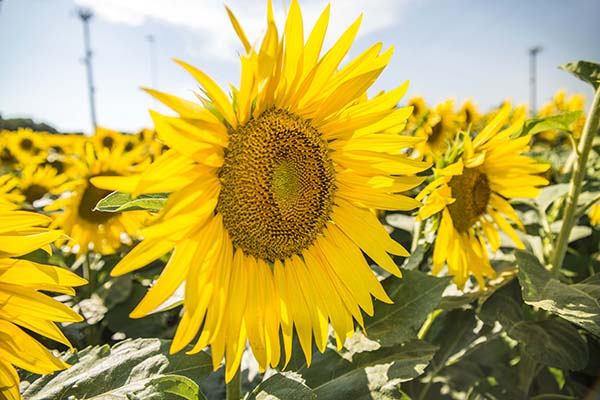 sunflower_yellow_colour.jpg