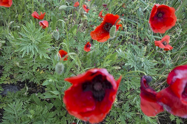 pictures_of_red_poppies_flowers.jpg