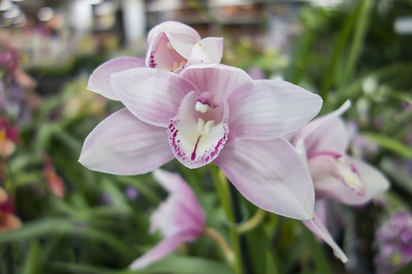 Pale orchid color