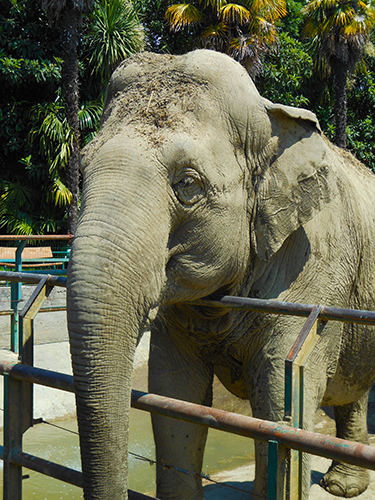 Asian elephant endangered species