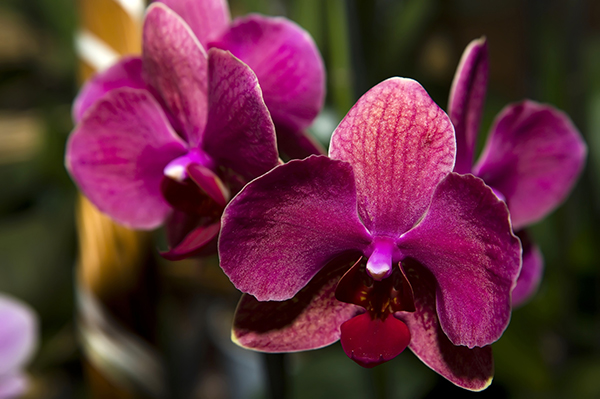 Phalaenopsis orchid species