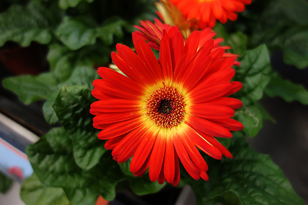 single_daisy_flower_red_and_yellow_daisy.JPG