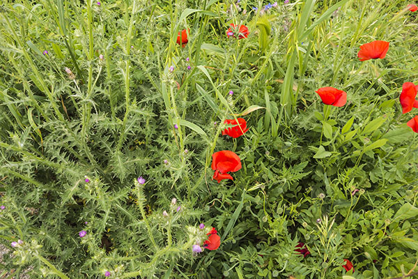 Photo of red poppies flowers