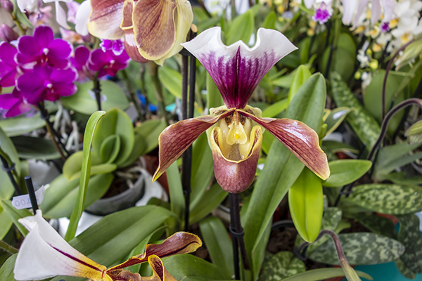 Multi colored Lady Slipper orchid flower