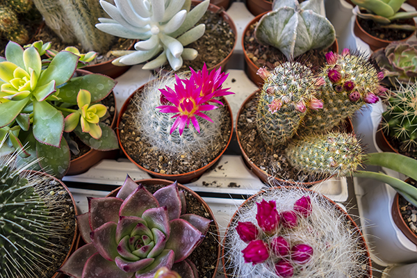 round_cactus_with_pink_flowers.JPG